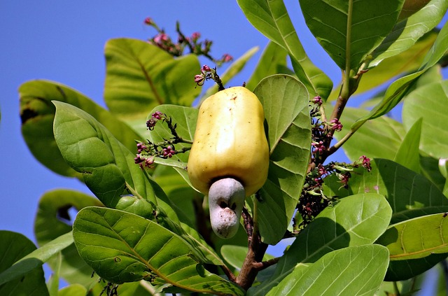 Cashew-nuts-grow-out-of-apples